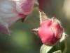 apple_tree_bud