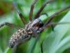 garden_spider_climbing