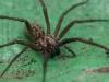 house_spider03