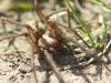 garden_spider_prowling