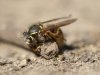 wasp_in_dirt01