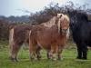 devon_ponies