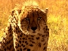 Safari School - Cheetah