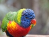 lorikeet side